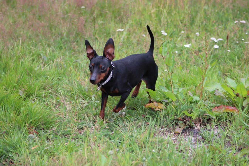 Pinscher pequeño perros pequeños