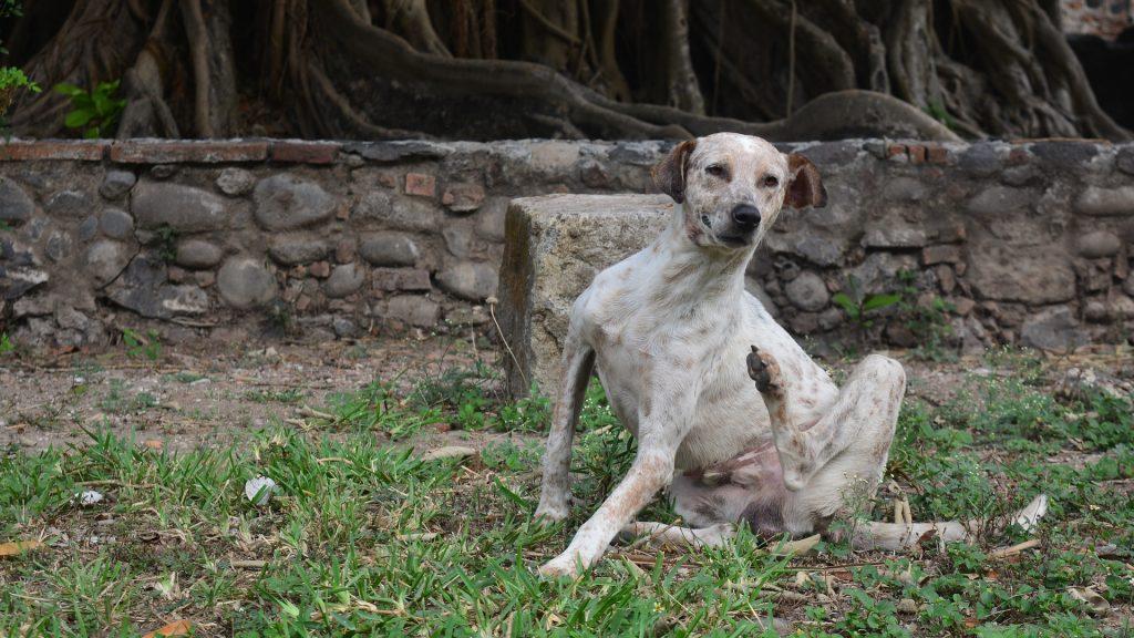 Remedios para la sarna en perros,tipos de sarna,Síntomas de la sarna en perros