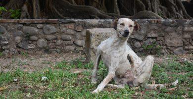 remedios para la sarna en perros , tratamiento para la sarna en perros , remedios caseros para la sarna en perros , medicamento para la sarna en perros , sarna en perros tratamiento casero , tratamiento de sarna en perros , sarna en perros remedios caseros , acaros en perros tratamiento , sarna en perros medicamentos , remedios caseros para la sarna de perros , sarna en perros remedios , remedios para la sarna en los perros , medicamento sarna perros , sarna demodecica tratamiento casero , remedios caseros para curar la sarna en perros , tratamiento casero sarna perros , tratamiento contra la sarna en perros ,