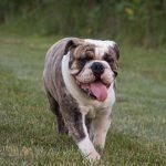 bulldog ingles , bulldog ingles cachorro , bulldog ingles precio , bulldog cachorro , bulldog ingles bebe , bulldog ingles en adopcion , comprar bulldog ingles , perro bulldog ingles , bulldog ingles venta , bulldog precio , bulldog ingles blue , dogo ingles , venta de bulldog ingles , bulldog ingles negro , bulldog ingles blanco , bulldog ingles adulto , bulldog ingles exotico , royal canin bulldog ingles , bulldog ingles hembra , bulldog ingles milanuncios , cachorros de bulldog ingles