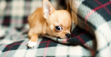 perros pequeños , perros medianos , perros pequeños en adopcion , perro blanco pequeño , perros chiquitos , perros pequeños peludos , perros pequeños gratis , perros peludos pequeños , perros pequeños bonitos , perros pequeños para niños , pequeño perro ruso , doberman pequeño , mejores perros para niños , labrador pequeño , husky pequeño , pastor aleman pequeño , pitbull pequeño , akita pequeño , perros muy pequeños , perro de agua pequeño