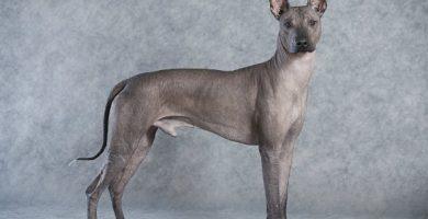 xoloitzcuintle - perro xoloitzcuintle- xoloescuincle