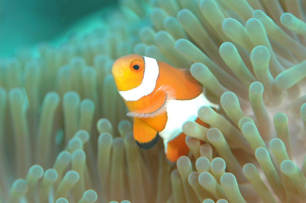 donde vive el pez payaso,pez nemo,el pez payaso,informacion sobre el pez payaso,peces de acuario,pez payaso alimentacion