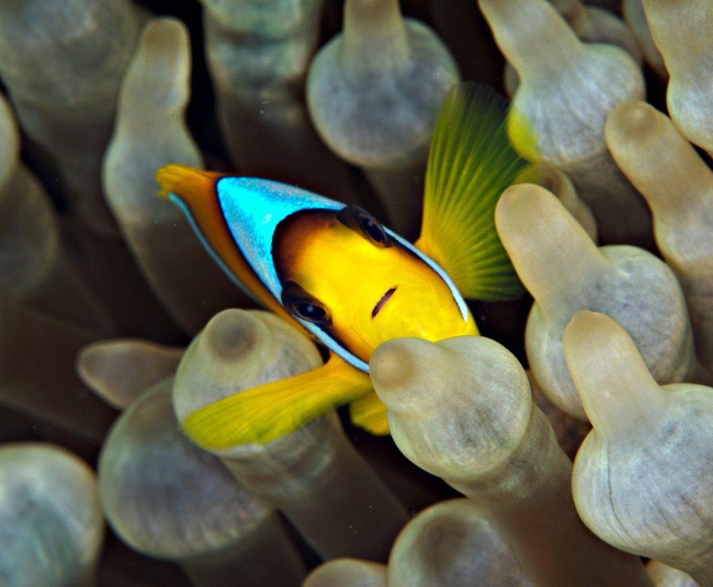 donde vive el pez payaso,pez nemo,el pez payaso,informacion sobre el pez payaso,peces de acuario,pez payaso alimentacion,pez payaso y anemonas,pez payaso amenaza