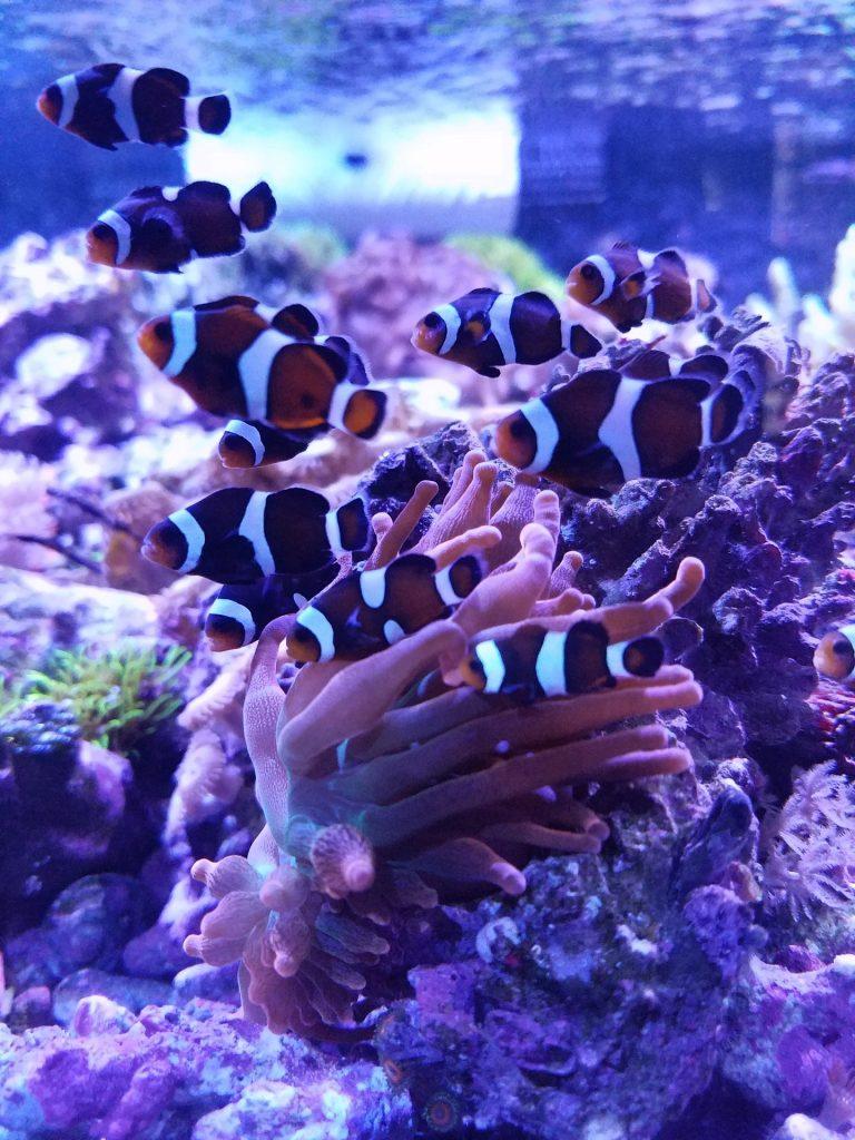 donde vive el pez payaso,pez nemo,el pez payaso,informacion sobre el pez payaso,peces de acuario,pez payaso alimentacion,pez payaso y anemonas,cautiverio
