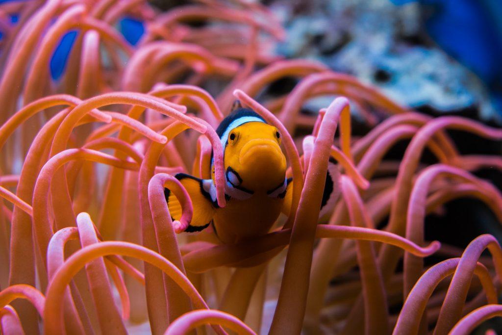 donde vive el pez payaso,pez nemo,el pez payaso,informacion sobre el pez payaso,peces de acuario,pez payaso alimentacion,pez payaso y anemonas