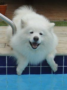 samoyedo siberiano , samoyedo gratis , samoyedo cachorro blanco , samoyedo vs husky , samoyedo crema , samoyedo raza pequeña , samoyedo temperamento , samoyedo videos , samoyedo razas similares , samoyedo 5 meses , samoyedo 6 meses , un samoyedo , samoyedo ruso